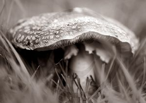 Fly Agaric Black and White.jpg
