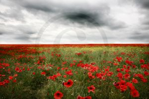 Kilworth Poppies.jpg