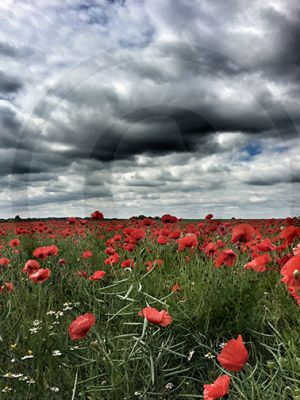 Nailstone Poppies.jpg