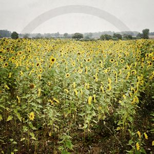 Shenton Sunflowers.jpg